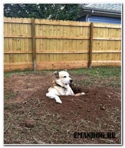 собака роет ямы